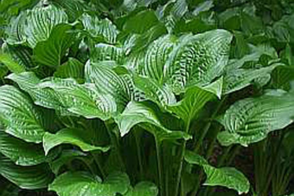 Hosta 'Royal Standard'